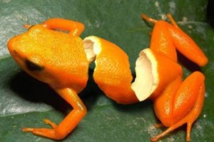 orangepeelfrog